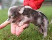 baby-pig-101210
