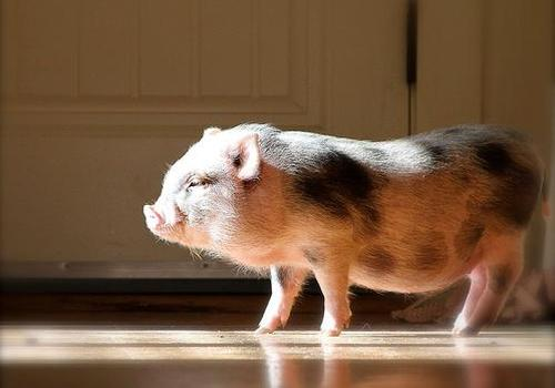 pet-pig-in-the-house